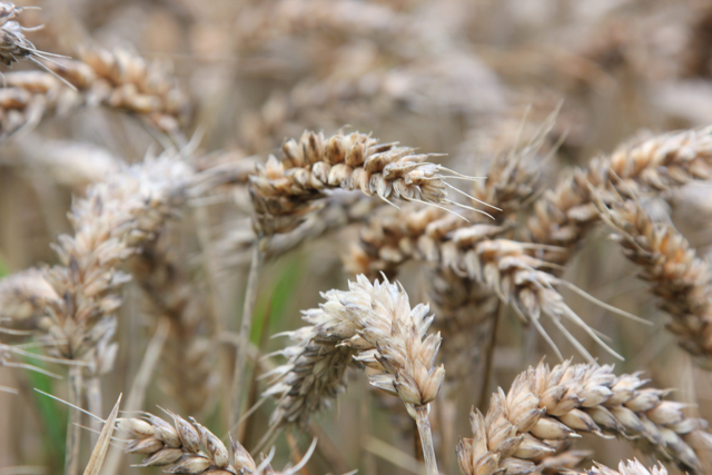the history and importance of the cultivation of wheat Wheat is the most important crop raised on expanded conversion of grassland to wheat cultivation wheat, the encyclopedia of oklahoma history and.