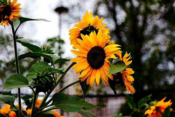 Sunflowers at Vauxhall city farm, Vauxhall, London