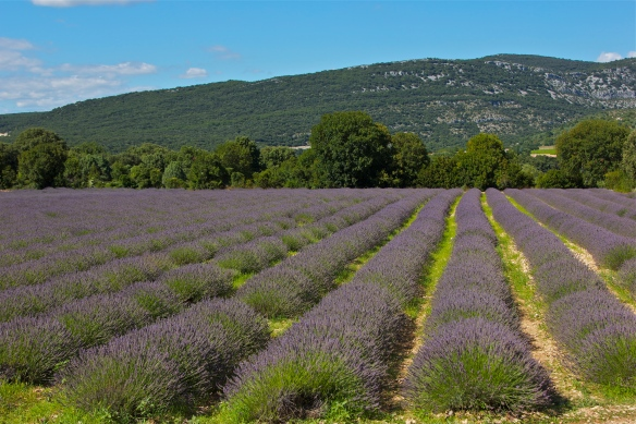 Lavender fields at the Lavender Museum in Vallon Point d'Arc, in Ardeche